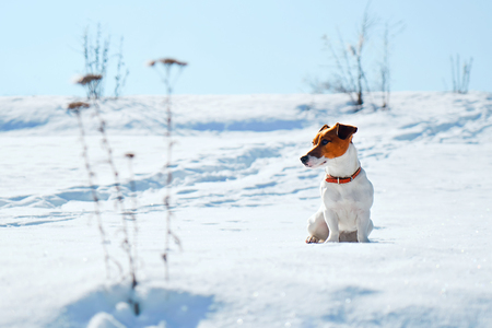 A bright winter picture. Portrait of Jack Russel. A dog sits on the snow looking for prey Archivio Fotografico