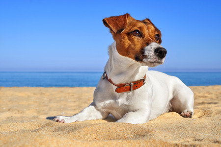 Portrait of Jack Russell Terrier. Dog playing on the beach at sunset Stock Photo
