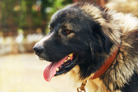 Portrait of a big dog with his tongue hanging out Imagens