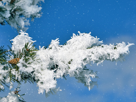 Christmas tree branches covered with snow against a blue sky background close-up. Bright abstract background ideal for any design Stock Photo