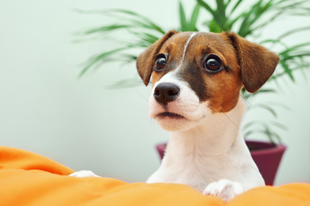 Dog breed Jack Russell Terrier gently looks at his master. The dog in the bedroom is standing on the edge of the bed 版權商用圖片