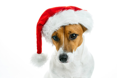 Christmas card. Portrait of a Jack Russell breed dog with a red Santa hat on a white background. Background for your text and design.