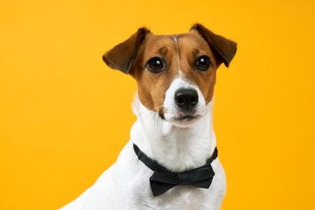Portrait of a dog breed of Jack Russell with a male butterfly for clothes on the neck on a yellow background. Background for your text and design