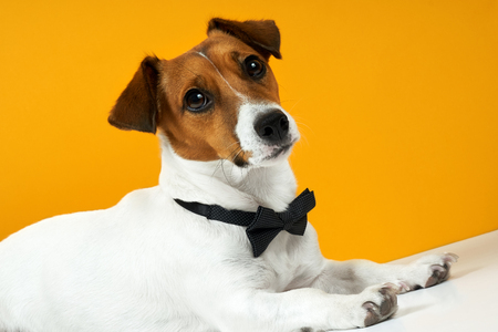 Portrait of a dog breed of Jack Russell on the neck on a yellow background. Background for your text and design
