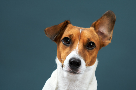 Portrait of a dog breed of Jack Russell in a black tie a dark grey background. Background for your text and design Stockfoto
