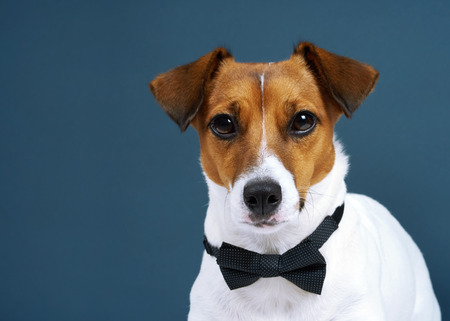 Portrait of a dog breed of Jack Russell in a black tie a dark grey background. Background for your text and design Stock Photo