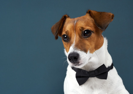 Portrait of a dog breed of Jack Russell in a black tie a dark grey background. Background for your text and design Archivio Fotografico
