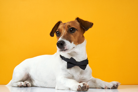 Portrait of a dog breed of Jack Russell with a male butterfly for clothes on the neck on a yellow background. Background for your text and design. Stock Photo