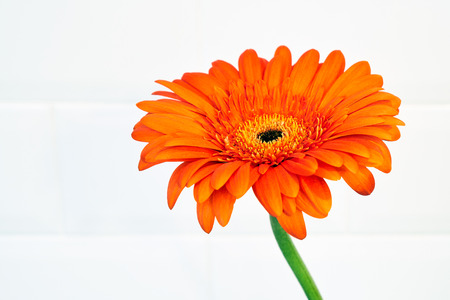 Beautiful blossoming orange flower of a major on a white background