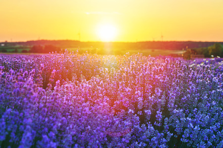Bright lavender field at sunset. Bright abstract background ideal for any design. Basic background for design Stock Photo