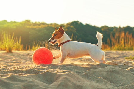 Portrait of Jack Russell Terrier dog stands near the ball on the beach at sunset of the day