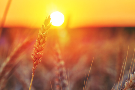 The bright agricultural field of wheat at sunset. Texture of golden wheat spikelets. A bright abstract background is perfect for any design. Main background for design
