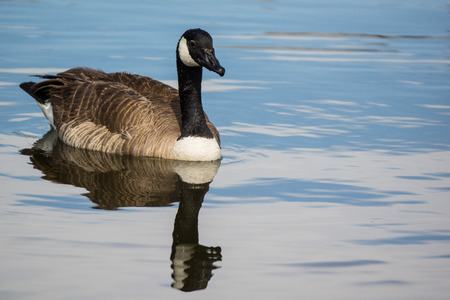 water fowl: Goose floating on pond at park in Lone Tree Colorado Stock Photo
