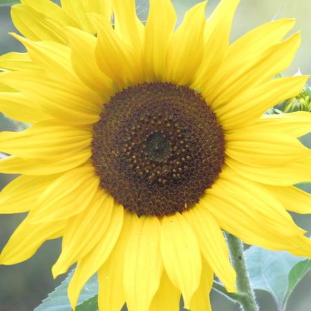 helianthus: Sunflower Solo