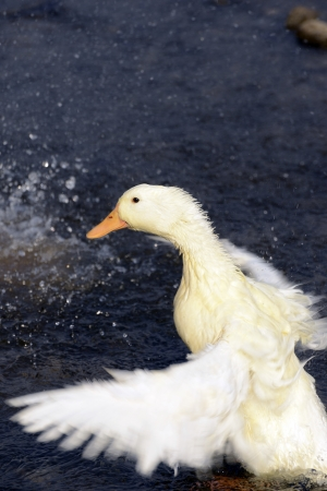 jitter: White ducks play in the water   Stock Photo