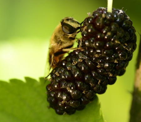 The bees on the mulberry fruit