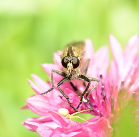 insectivorous: Insectivorous fly and crab spider