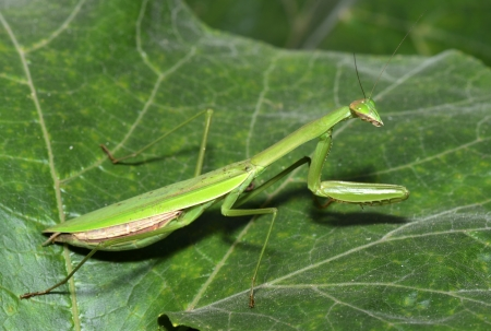 beneficial insect: Mantis stay on the leaves