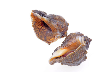 existence: Two conch on a white background