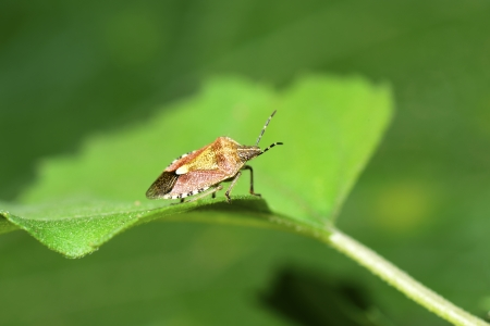 beneficial insect: A they stay on the leaves