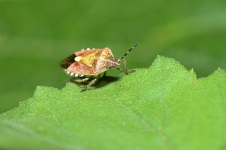 A stink bug to rest on the green leaves   photo