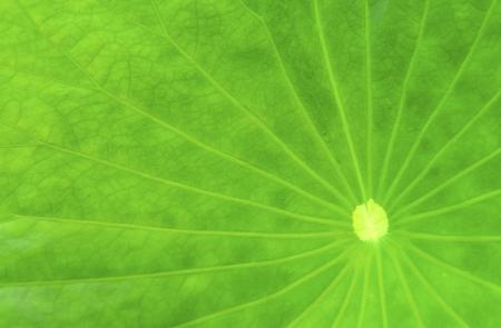 Lotus leaf features