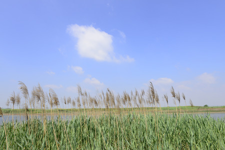 grew: Grew along the exuberant reeds in the blue sky   Stock Photo