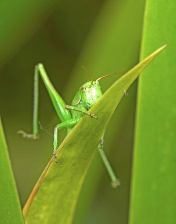 sprawled: A grasshopper on green leaves Stock Photo