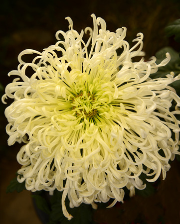 A blooming white chrysanthemum in the garden photo