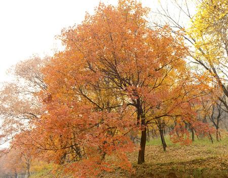 vigorous: Vigorous growth of maple trees in the woods