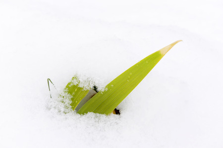 A plant green in winter snow photo