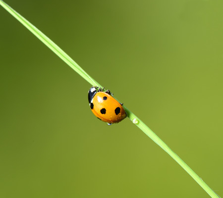 A ladybug isolated on the grass shoots
