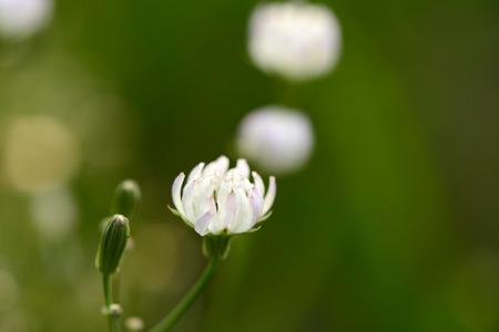 vigorous: Vigorous growth of white flowers in the garden