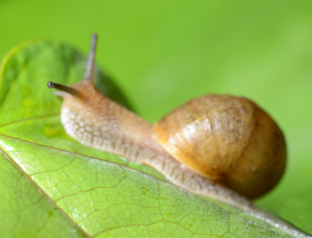 A snail crawling on the green leaves Stock Photo