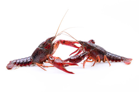 Two fighting lobster on a white background photo