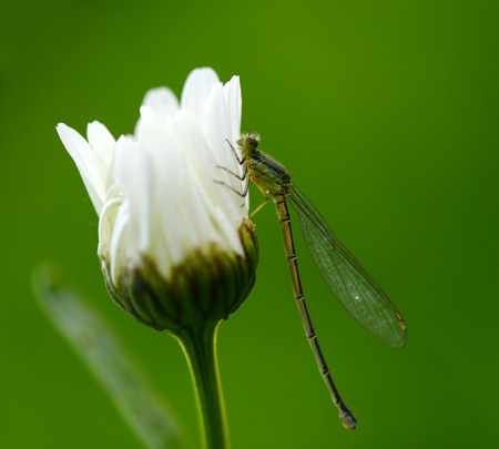 A dragonfly on white flowers