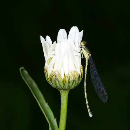 A dragonfly staying in white flowers