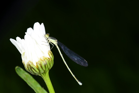 A dragonfly on the white flowers Stock Photo