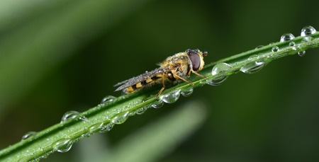 A food aphid fly alone on the grass shoots