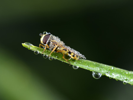 sprawled: A food aphid fly to stay on the grass shoots