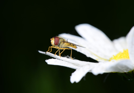 sprawled: A food aphid fly isolated on white flowers