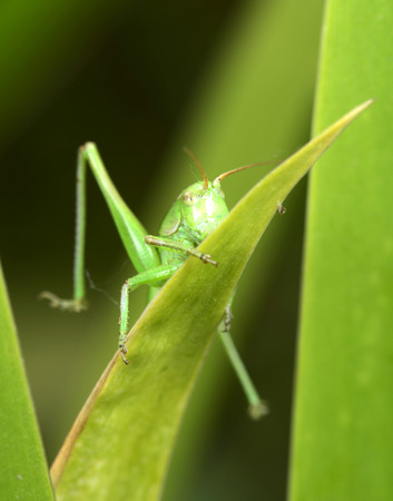 sprawled: A grasshopper on green leaves Stock Photo