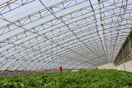 capacious: Capacious and bright strawberry greenhouses Editorial