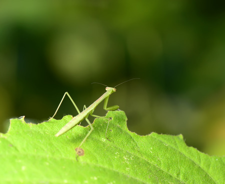 stay in the green: A praying mantis stay on green leaves, close-up