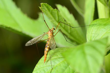 Een plek van muggen blijven op groene bladeren, close-up Stockfoto - 38004444