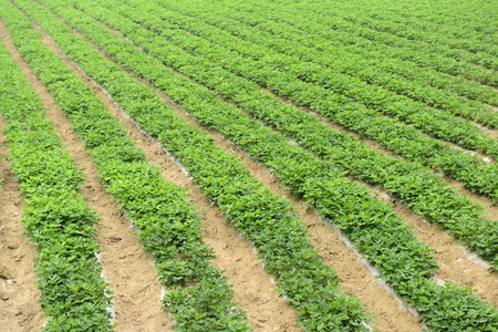 to thrive: Plastic cover peanut seedling thrive in a field Stock Photo