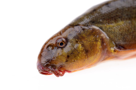 loach: A head of loach close-up on a white background