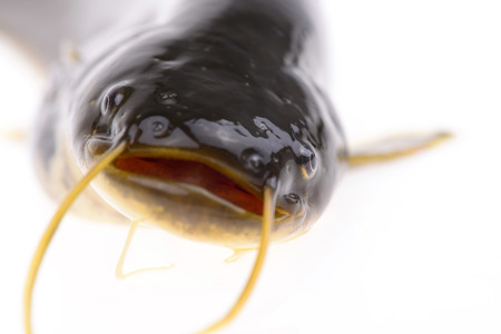 fish head: A fish head features, on a white background
