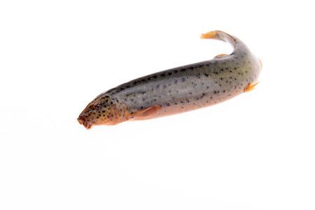 loach: A loach on a white background
