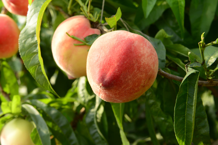 to thrive: Thrive in the peach peach trees